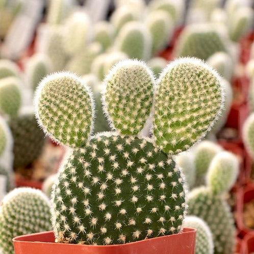 Opuntia Cactus 3 inches