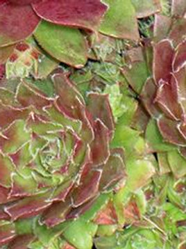 SEMPERVIVUM RED HEART HENS AND CHICKS