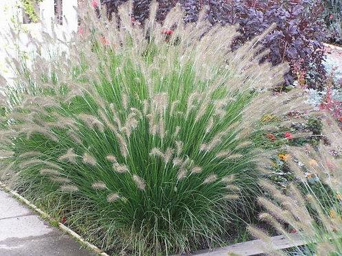PERENNIAL GRASS PENNISETUM PIGLET FOUNTAIN GRASS