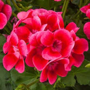 Jumbo Geranium Pretty Little Pink Splash 6.5in pot