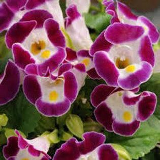 Torenia Burgundy Flat 32 plants