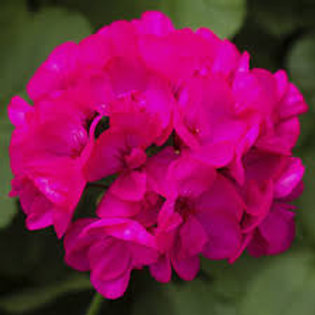 Jumbo Geranium Calliope Deep Rose 6.5in pot