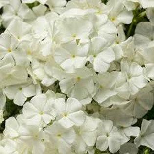 PHLOX WHITE  4.5IN BENCH POT