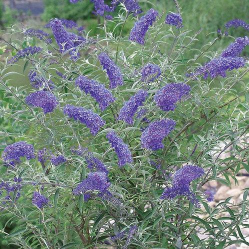 BUDDLEIA NANHO BLUE 1GAL BUTTERFLY BUSH