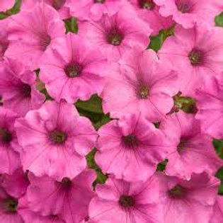 PETUNIA SUPERTUNIA HOT PINK CHARM