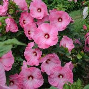 HIBISCUS AIRBRUSH EFFECT-rose mallow