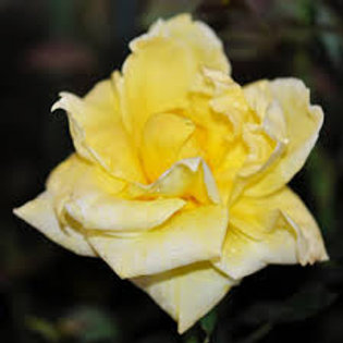 NEW DAY ROSE