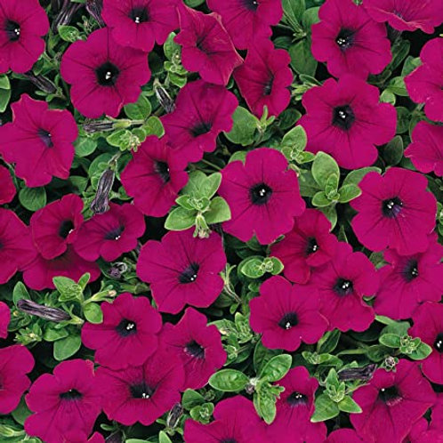 Silver Blades FUNDRAISER 6 Pack of WAVE PETUNIAS ASSORTED COLORS