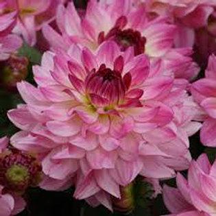 Dahlia Sincerity 6.5in pot