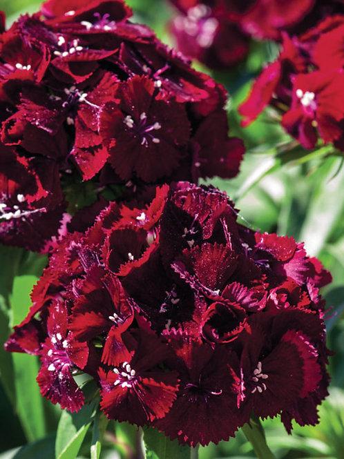DIANTHUS SWEET BLACK CHERRY SWEET WILLIAM/PINKS