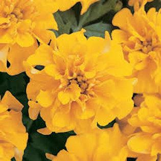 Marigold Bonanza Gold Flat 48 plants