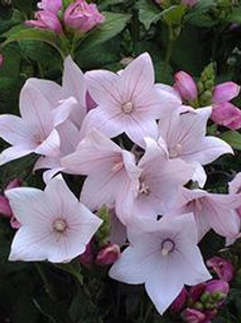 PLATYCODON ASTRA BRIGHT PINK BALLOON FLOWER