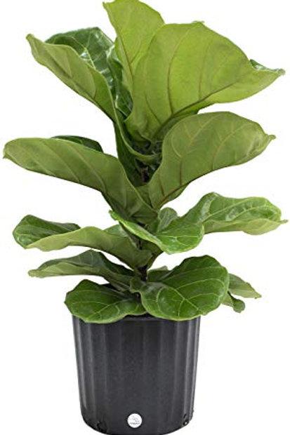 Fiddleleaf Ficus 10in