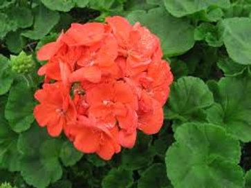 Rocky Mountain Orange Geranium 6 pack