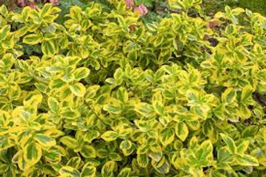 EUONYMUS GOLD SPLASH 1G BUSH