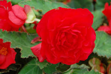BEGONIA NON STOP BR RED