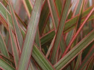Cordyline Ruby Madagascar 6.5INCH POT