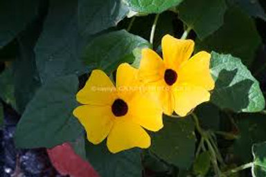 THUNBERGIA CHARLES STAR 12INCH POT TRELLISED