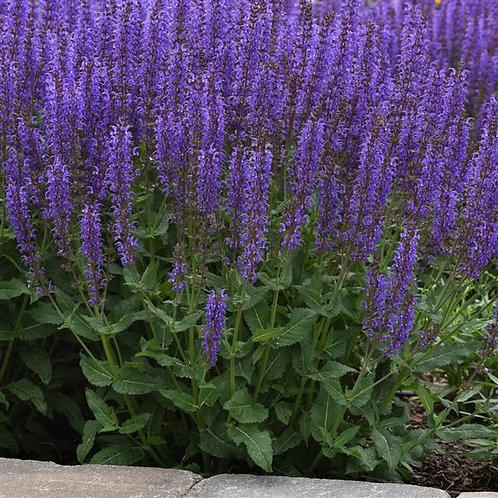 SALVIA BLUE BY YOU MEADOW SAGE