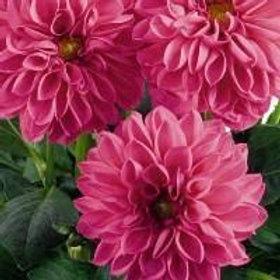 Dahlinova Lisa Dark Pink 6.5in pot