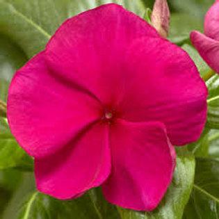 Vinca Cora Hotgenta Flat 32 plants