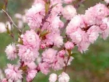 FLOWERING ALMOND 3GAL BUSH