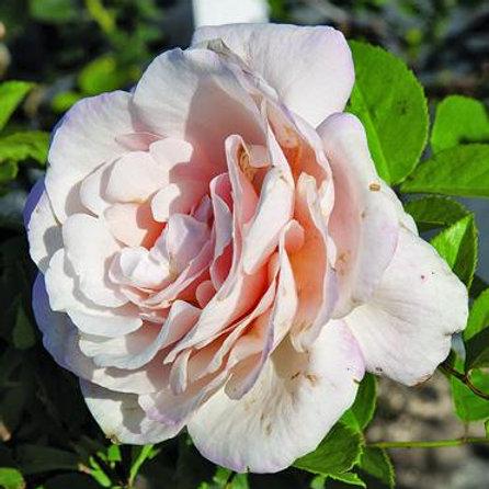 BELINDA'S BLUSH ROSE