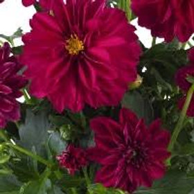 Dahlinova Lisa Burgundy 6.5in pot