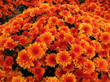 Garden Mum Cheryl Orange 4.5in Bench pot
