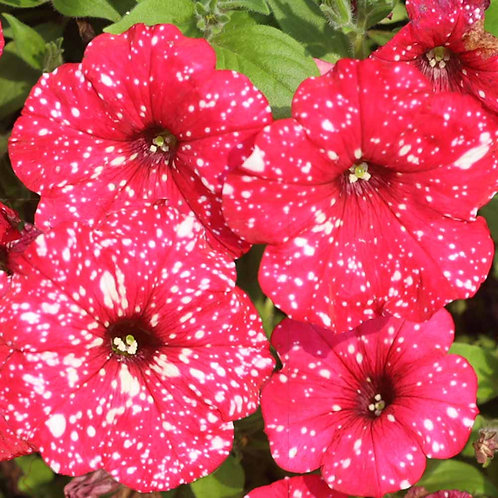 PETUNIA SURPRISE SPARKLE RED 4.5INCH BENCH POT