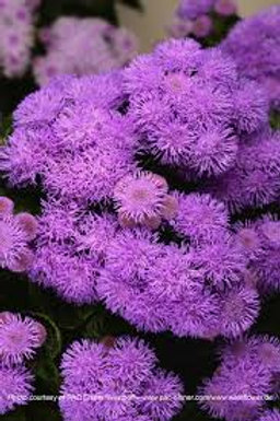 AGERATUM BUMBLE BLUE 4.5IN BENCH POT