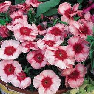 Dianthus Super Parfait Strawberry Flat 32 plants