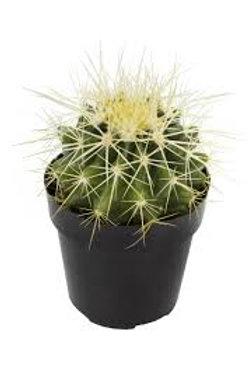 Barrel Cactus 3in