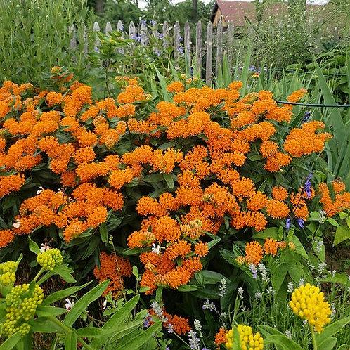 ASCLEPIAS ORANGE SWAMP MILKWEED/BUTTERFLY WEED