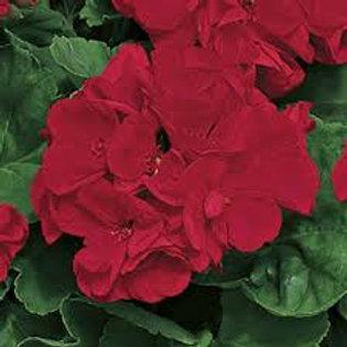 Jumbo Geranium Americana Dark Red 6.5INCH pot