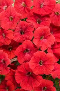 PETUNIA SUPERTUNIA REALLY RED  4.5IN BENCH POT