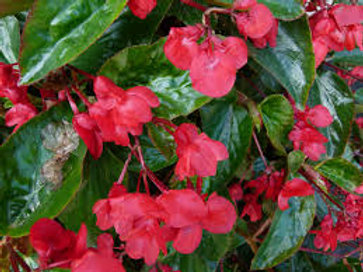 Begonia Dragon Wing Red 4.5in Bench Pot