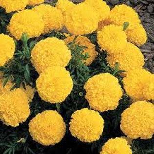 Marigold Inca Yellow Flat 32 plants