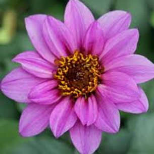 Dahlia Temptataion Purple 6.5in pot