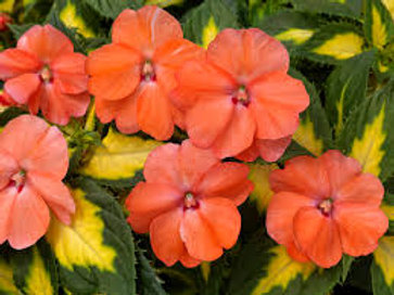SUNPATIENS SPREADING TROPICAL SALMON