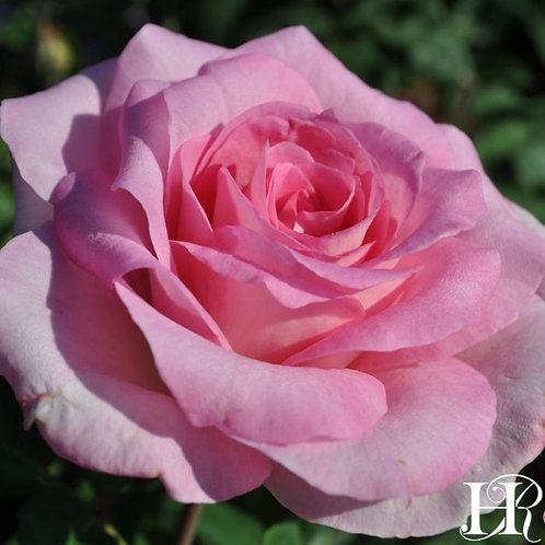 Beverly Rose