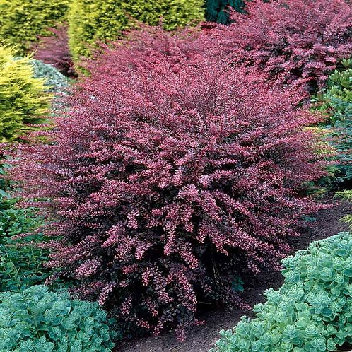 BARBERRY ROSY GLOW 1GAL