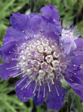SCABIOSA CAUCASICA FAMA DEEP BLUE PINCUSHION FLOWER