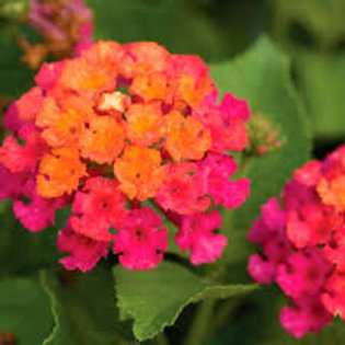LANTANA CHERRY SUNRISE  4.5IN BENCH POT