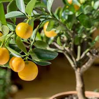 Orange Tree 18-24in