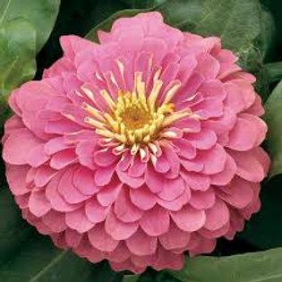 Zinnia Magellan Pink Flat 32 plants