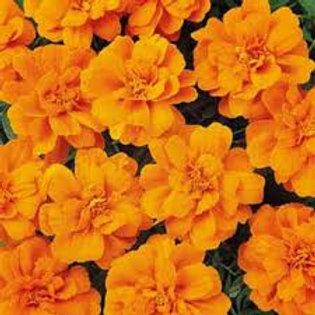 Marigold Durango Tangerine Flat 48 plants