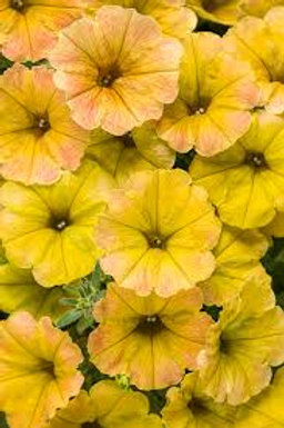 PETUNIA SUPERTUNIA HONEY