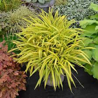 PERENNIAL GRASS CAREX BANANA BOAT