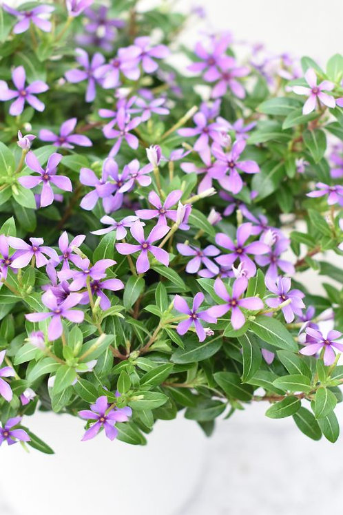 CATHARANTHUS BLUEBERRY KISS 4.5INCH BENCH POT